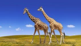 Дикий коллаж жирафов на голубого предпосылке неба и саванны стоковые фотографии rf