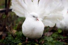 Дикий конец голубя вверх Городской голубь птицы в парке осени Стоковые Фотографии RF