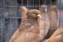 Дикий конец голубя вверх Городской голубь птицы в парке осени Стоковое фото RF