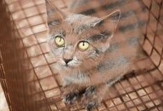 Дикий котенок уловленный в гуманной ловушке Стоковые Изображения RF
