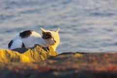 Дикий кот на заходе солнца Стоковые Фотографии RF