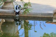 Дикий кот питьевая вода от пруда в городе Стоковое фото RF