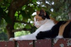 Дикий кот ситца кладя вытаращиться к левой стороне Стоковое Изображение RF