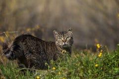 Дикий кот стоя и смотря в поле Стоковые Фотографии RF