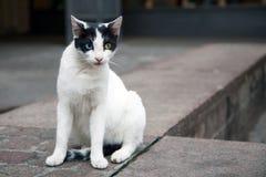 Дикий кот с одним голубым и одним желтым глазом Афиныы, Греция Стоковая Фотография RF