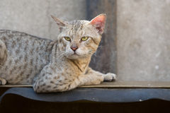 Дикий кот улицы Стоковая Фотография RF