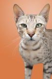 Дикий кот Стоковые Изображения