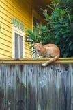 Дикий кот tabby Стоковые Фотографии RF