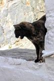 Дикий кот Tortoiseshell Стоковое Изображение RF