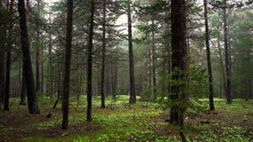 Дикий лес с серией зеленых деревьев акции видеоматериалы