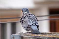 Дикий серый голубь стоковое фото