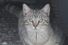 Дикий серый кот Tabby Стоковое Изображение
