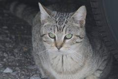 Дикий серый кот Tabby Стоковое фото RF