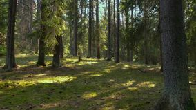 Дикий сосновый лес с зеленым мхом под деревьями сток-видео