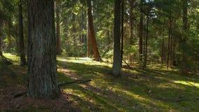 Дикий сосновый лес с зеленым мхом под деревьями видеоматериал