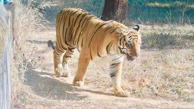 Дикий тигр в зеленом лесе в jharkhand стоковые фото