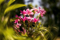Дикий цветок лилии зацветая на стене и окружить зеленые листья 2 стоковые изображения rf