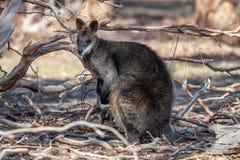 Дикий Wallaby болота, полесья паркует, Виктория, Австралия, февраль 2017 стоковые фотографии rf