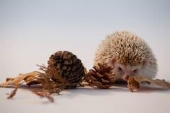 Дикобраз с листьями конуса и осени сосны на белой предпосылке Стоковая Фотография