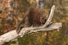 Дикобраз (dorsatum Erethizon) Snoozes на ветви Стоковое фото RF