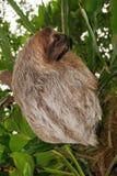 Дикое животное лени Bradypus 3-toed variegatus Стоковые Изображения