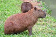 Дикое животное капибары Стоковое Изображение