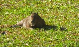 Дикое животное капибары Стоковые Фотографии RF