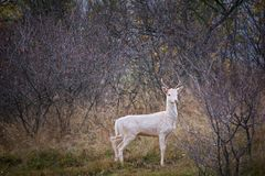 Дикое животное козы оленей альбиноса с альбинизмом в диком стоковая фотография