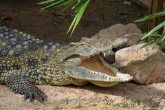 Дикое животное челюстей крокодила Стоковые Изображения RF