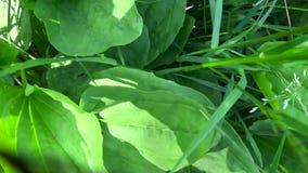 Дикое растение Plantago главное зеленое, подорожник, лекарственное растение Стрельба видео HD с steadicam движение медленное сток-видео