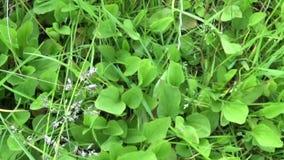 Дикое растение Plantago главное зеленое, подорожник, лекарственное растение Стрельба видео HD с steadicam движение медленное акции видеоматериалы