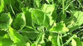 Дикое растение Plantago главное зеленое, подорожник, лекарственное растение Стрельба видео HD с steadicam движение медленное видеоматериал
