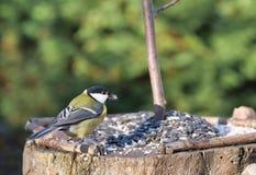 Дикое coalmouse птицы стоковая фотография