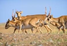 Дикое tatarica saiga антилопы saiga стоковое изображение