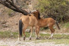 2 дикой лошади воюя в пустыне Стоковое фото RF