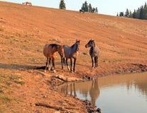 3 дикой лошади в ряде дикой лошади гор Pryor в Монтане США Стоковые Фотографии RF