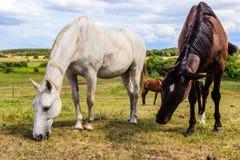 2 дикой лошади на поле луга Стоковая Фотография