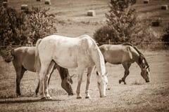 2 дикой лошади на поле луга Стоковое Изображение