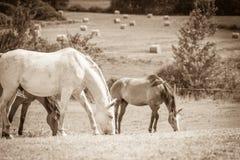 2 дикой лошади на поле луга Стоковое Фото