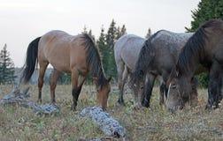 4 дикой лошади пася на сухой траве рядом с мертвое деревянным вносят дальше ряд в журнал дикой лошади гор Pryor в Монтане США Стоковое Изображение