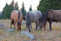 4 дикой лошади пася на сухой траве рядом с мертвое деревянным вносят дальше ряд в журнал дикой лошади гор Pryor в Монтане США Стоковые Фотографии RF