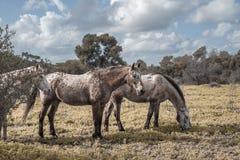 3 дикой лошади gazing в поле Стоковая Фотография RF