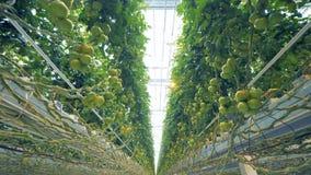 Динамический вверх ногами взгляд coppice томата в просторном парнике сток-видео