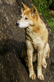Динго (динго волчанки волка) Стоковые Фотографии RF