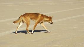 Динго на острове Fraser, Квинсленде, Австралии Стоковая Фотография