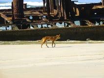 Динго на острове Fraser, Квинсленде, Австралии Стоковое Изображение