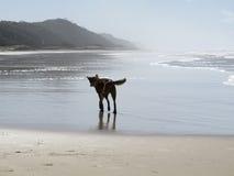 Динго на острове Fraser, Квинсленде, Австралии Стоковые Фото