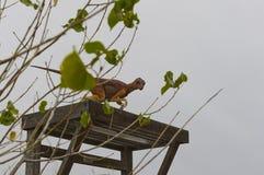 Динозавр на деревянной структуре Стоковые Фото