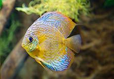 Диск рыб аквариума Стоковое Фото