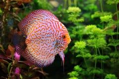 Диск Symphysodon, пестротканый cichlid в аквариуме Стоковые Фотографии RF